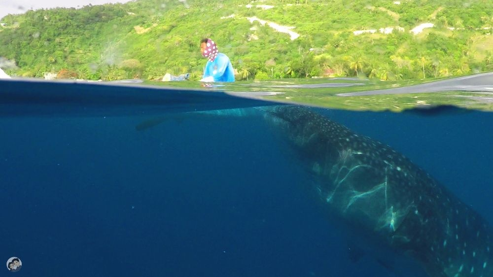 swimming_with_whalesharks