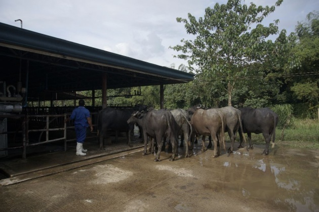 ubay_carabao_farm
