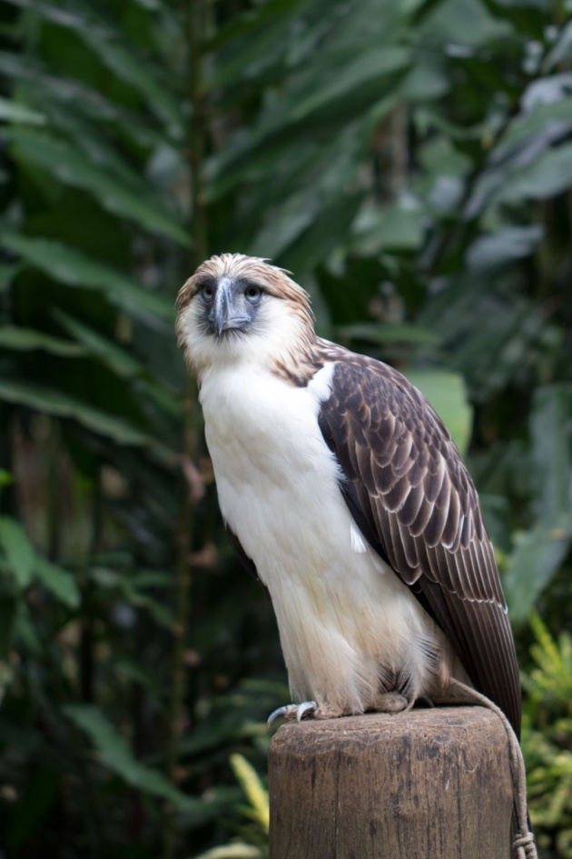 philippine_eagle