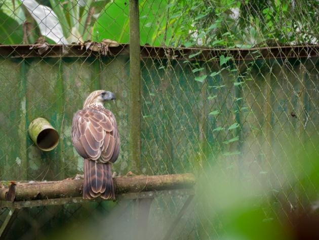monkey_eating_eagle