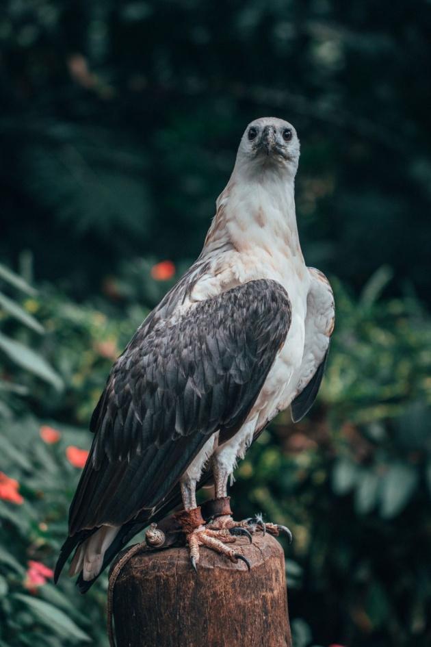 philippine_national_bird