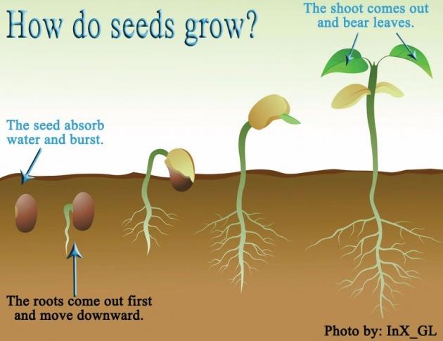 how_do_plants_make_seeds