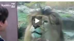 SAD :(( LION
