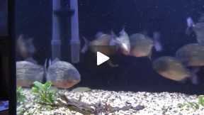 Piranhas VS a Mouse in Aquarium Tank