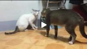 Fiting cats