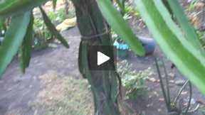 DRAGON FRUIT (Mother Plant)