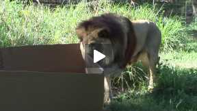 big cats and boxes