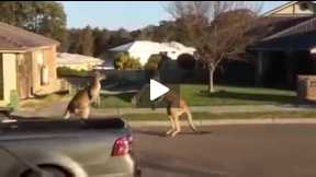 This is amazing and very rare kangroo fight