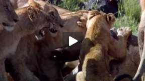 Male Lion Attack to Crocodile