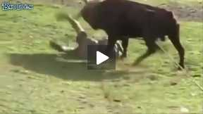 Funny video of Bull fighting festival