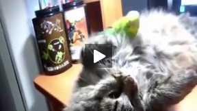 Parrot teasing Cat