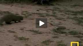 cobra vs mangoose