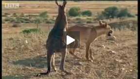 Wallaro vs dingo