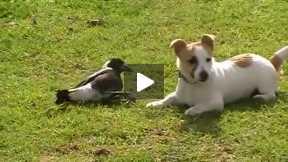 Dog and Crow playing
