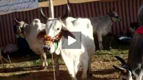 Thari Cows. Sind Karachi Pakistan