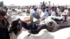 Daur Cattle market. Sindh