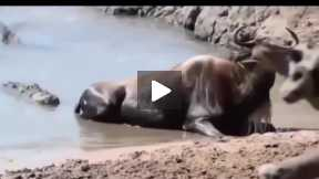 Most Amazing Wild Animal Attacks #2 - CRAZIEST Animal Fights  -  lion,,anaconda, deer, Crocodile 09