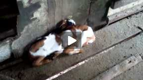 two more baby goats