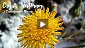 Crepis Tectorum: A Dandelion-like flower