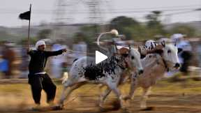 Bulls racing festival and the  Dangers