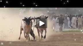 Bull racing festival day 2 race#2