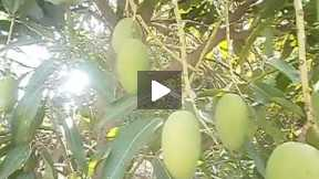 Mango trees part 3