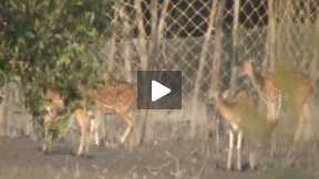 The Spotted Deer of Sunderban