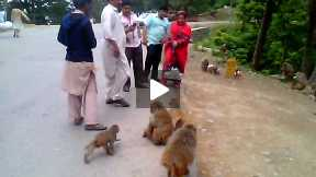 Fun with Monkeys In Nathiya Gali,Murree