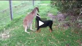 Dog and kangaroo love funny