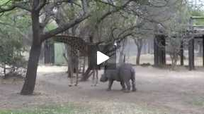funny rhino and giraffe