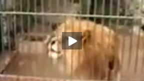 Lion's talking